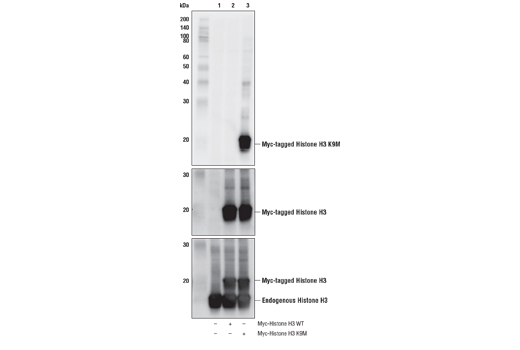 Western Blotting Image 2: Histone H3 (K9M Mutant Specific) Antibody