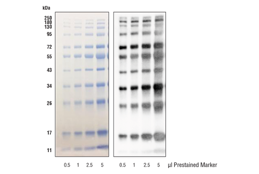 Image 1: Blue Prestained Protein Marker Detection Pack