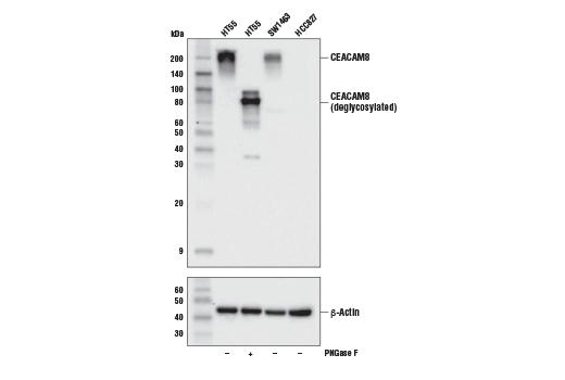 Monoclonal Antibody - CEACAM8 (D2F5U) Rabbit mAb - Western Blotting, UniProt ID P31997, Entrez ID 1088 #61572, Ceacam8