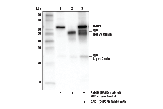 Immunoprecipitation of GAD1 protein from mouse brain tissue extracts. Lane 1 is 10% input, lane 2 is Rabbit (DA1E) mAb IgG XP<sup>®</sup> Isotype Control #3900, and lane 3 is GAD1 (D1F2M) Rabbit mAb. Western blot analysis was performed using GAD1 (D1F2M) Rabbit mAb.