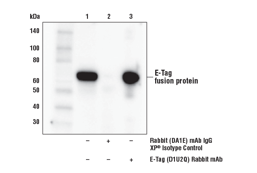Monoclonal Antibody - E-Tag (D1U2Q) Rabbit mAb - Immunoprecipitation, Western Blotting - 100 µl #41729 - Primary Antibodies