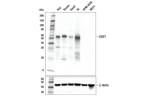 Western blot analysis of extracts from various cell lines using CD27 (E6S8H) Rabbit mAb (upper) or β-Actin (D6A8) Rabbit mAb #8457 (lower)