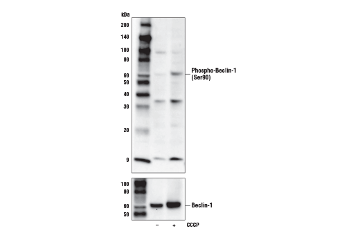Western blot analysis of extracts from PC-3 cells, untreated (-) or treated with carbonyl cyanide 3-chlorophenylhydrazone (CCCP; 30 μM, 2 hr; +), using Phospho-Beclin-1 (Ser90) Antibody (upper) or Beclin-1 (D40C5) Rabbit mAb #3495 (lower).