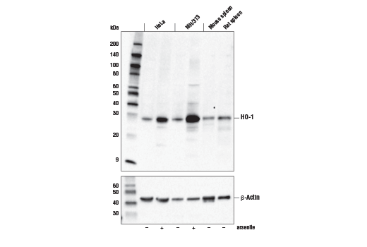 Monoclonal Antibody Immunoprecipitation HO-1 Mouse