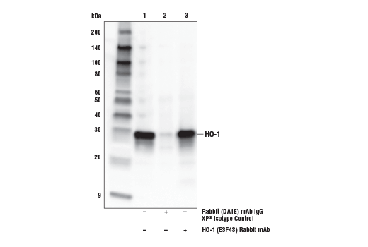 Immunoprecipitation of HO-1 from arsenite-treated (50 μM, 8 hr) NIH/3T3 cell extracts. Lane 1 is 10% input, lane 2 is Rabbit (DA1E) mAb IgG XP<sup>®</sup> Isotype Control #3900, and lane 3 is HO-1 (E3F4S) Rabbit mAb. Western blot analysis was performed using HO-1 (E3F4S) Rabbit mAb. Mouse Anti-rabbit IgG (Conformation Specific) (L27A9) mAb (HRP Conjugate) #5127 was used for detection.
