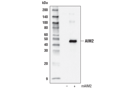 Western blot analysis of extracts from 293T cells, mock transfected (-) or transfected with a construct expressing full-length mouse AIM2 (mAIM2; +), using AIM2 Antibody (Mouse Specific).