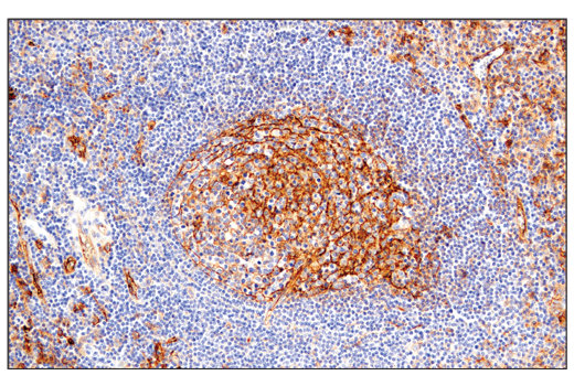 Immunohistochemical analysis of paraffin-embedded human tonsil using CD54/ICAM-1 (E3Q9N) XP<sup>®</sup> Rabbit mAb.