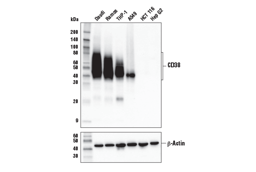 Western blot analysis of extracts from various cell lines using CD38 (E7Z8C) XP<sup>®</sup> Rabbit mAb (upper) or β-Actin (D6A8) Rabbit mAb #8457 (lower).