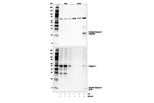 Western blot analysis of cell extracts from the cells or media from mouse bone marrow derived macrophages (mBMDM), untreated (-) or treated with Lipopolysaccharides (LPS) #14011 (50 ng/ml, 4 hr) followed by Nigericin (15 μM, 45 min) (+), using Cleaved Caspase-1 (Asp296) (E2G2I) Rabbit mAb (upper), or Caspase-1 (E2Z1C) Rabbit mAb (lower).
