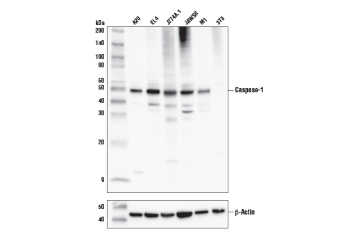 Western blot analysis of extracts from various cell lines using Caspase-1 (E2Z1C) Rabbit mAb (upper), or β-Actin (D6A8) Rabbit mAb #8457 (lower).