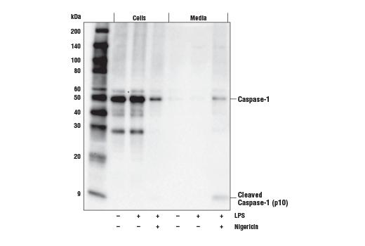 Western blot analysis of cell extracts from the cells or media from mouse bone marrow derived macrophages (mBMDM), untreated (-) or treated with Lipopolysaccharides (LPS) #14011 (50 ng/ml, 4hr) followed by Nigericin (15 μM, 45 min) (+) using Caspase-1 (E2Z1C) Rabbit mAb.