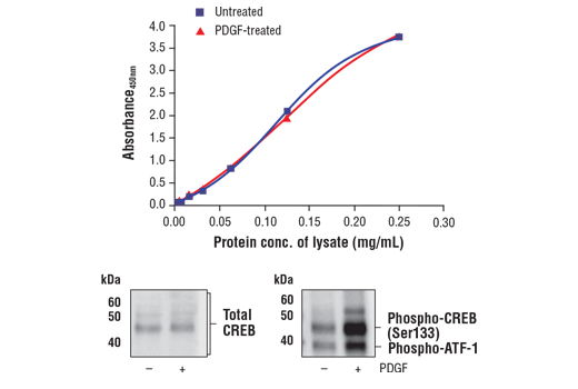 Figure 1. Treatment of NIH/3T3 cells with PDGF stimulates phosphorylation of CREB at Ser133 but does not affect the level of total CREB. The relationship between lysate protein concentration from untreated and PDGF-treated NIH/3T3 cells and the absorbance at 450 nm using the FastScan™ Total CREB ELISA Kit #36001 is shown in the upper figure. The corresponding western blots using CREB antibody (left panel) and phospho-CREB (Ser133) antibody (right panel) are shown in the lower figure. After serum starvation, NIH/3T3 cells were treated with 100 ng/ml PDGF #8912 for 5 minutes at 37°C and then lysed.