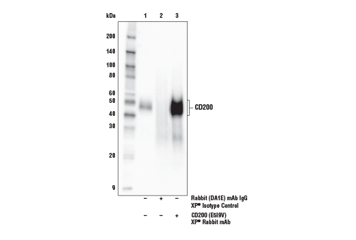 Immunoprecipitation of CD200 from SK-MEL-28 cell extracts. Lane 1 is 10% input, lane 2 is Rabbit (DA1E) mAb IgG XP<sup>®</sup> Isotype Control #3900, and lane 3 is CD200 (E5I9V) XP<sup>® </sup>Rabbit mAb. Western blot analysis was performed using CD200</p><p>(E5I9V) XP<sup>® </sup>Rabbit mAb as the primary antibody and Mouse Anti-rabbit IgG (Conformation Specific) (L27A9) mAb (HRP Conjugate) #5127 as the secondary antibody.