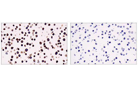 Immunohistochemical analysis of paraffin-embedded Jurkat cell pellet (left, positive) or Raji cell pellet (right, negative) using LAT (E3U6J) XP<sup>® </sup>Rabbit mAb.