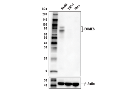 Western blot analysis of extracts from NK-92, THP-1, and HeLa cells using EOMES (E4Z4X) Rabbit mAb (upper) and β-Actin (D6A8) Rabbit mAb #8457 (lower).