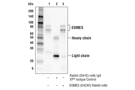 Immunoprecipitation of EOMES from NK-92 cell extracts. Lane 1 is 10% input, lane 2 is Rabbit (DA1E) mAb IgG XP<sup>®</sup> Isotype Control #3900, and lane 3 is EOMES (E4Z4X) Rabbit mAb. Western blot analysis was performed using EOMES (E4Z4X) Rabbit mAb. Mouse Anti-rabbit IgG (Conformation Specific) (L27A9) mAb (HRP Conjugate) #5127 was used as the secondary antibody.