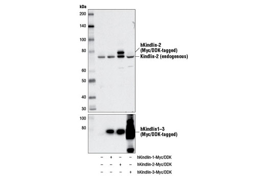 Polyclonal Antibody Western Blotting Integrin Activation