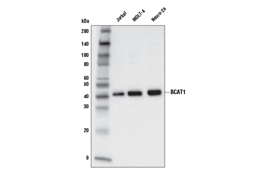Monoclonal Antibody - BCAT1 (D6D4K) Rabbit mAb - Western Blotting, UniProt ID P54687, Entrez ID 586 #88785, Glucose / Energy Metabolism