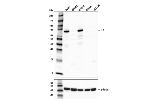 Western blot analysis of extracts from various cell lines using ITK (E4X7M) Rabbit mAb (upper) or β-Actin (D6A8) Rabbit mAb #8457 (lower).