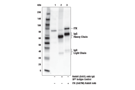 Immunoprecipitation of ITK from Jurkat cell extracts. Lane 1 is 10% input, lane 2 is Rabbit (DA1E) mAb IgG XP<sup>®</sup> Isotype Control #3900, and lane 3 is ITK (E4X7M) Rabbit mAb. Western blot analysis was performed using ITK (E4X7M) Rabbit mAb.