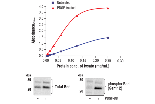 Figure 1. Treatment of NIH/3T3 cells with PDGF-BB stimulates phosphorylation of Bad at Ser112 but does not affect the level of total Bad. The relationship between lysate protein concentration from untreated and PDGF-BB-treated NIH/3T3 cells and the absorbance at 450 nm using the FastScan™ Phospho-Bad (Ser112) ELISA Kit #30605 is shown in the upper figure. The corresponding western blots using Bad antibody (left panel) and phospho-Bad (Ser112) antibody (right panel) are shown in the lower figure. After serum starvation, NIH/3T3 cells were treated with 100 ng/ml PDGF-BB #8912 for 40 minutes at 37°C and then lysed.