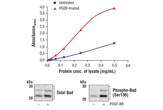 Figure 1. Treatment of NIH/3T3 cells with PDGF-BB stimulates phosphorylation of Bad at Ser136 but does not affect the level of total Bad. The relationship between lysate protein concentration from untreated and PDGF-BB-treated NIH/3T3 cells and the absorbance at 450 nm using the FastScan™ Phospho-Bad (Ser136) ELISA Kit #45057 is shown in the upper figure. The corresponding western blots using Bad antibody (left panel) and phospho-Bad (Ser136) antibody (right panel) are shown in the lower figure. Serum starved NIH/3T3 cells were treated with 100 ng/ml PDGF-BB #8912 for 40 minutes at 37°C, then lysed.