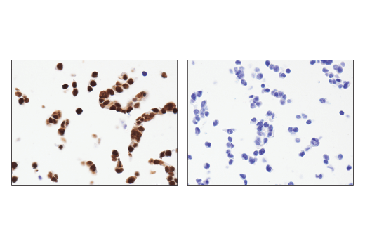 Immunohistochemical analysis of paraffin-embedded 293T cell pellet, wild-type (left, positive) or Ape1 knockout (right, negative), using Ape1 (E5Y2C) Rabbit mAb.