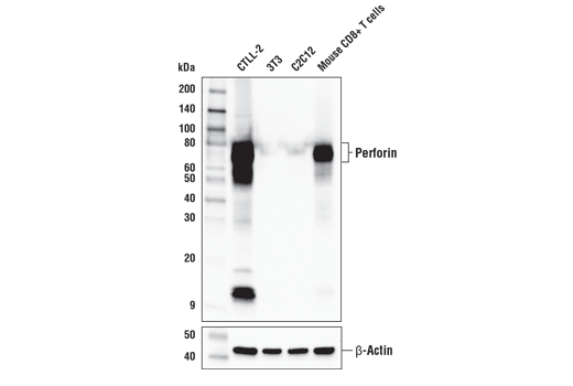 Western blot analysis of various cell lines and mouse activated CD8+ T cells using Perforin (E3W4I) Rabbit mAb (upper) or β-Actin (D6A8) Rabbit mAb #8457 (lower).