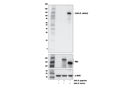 Western blot analysis of extracts from 293T cells, mock transfected (-) or transfected with a construct expressing myc-tagged Cas9 (<i>S. pyogenes</i>) or Cas9 (<i>S. aureus</i>) (+), using Cas9 (<i>S. aureus</i>) (6H4) Mouse mAb (upper), Myc-Tag (71D10) Rabbit mAb #2278 (middle), and β-Actin (D6A8) Rabbit mAb #8457 (lower).