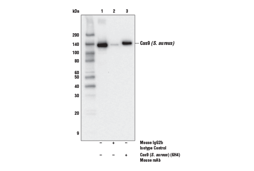 Immunoprecipitation of Cas9 (<i>S. aureus</i>) from 293T cell extracts transfected with a construct expressing myc-tagged Cas9 (<i>S. aureus</i>). Lane 1 is 10% input, lane 2 is Mouse (E7Q5L) mAb IgG2b Isotype Control #53484, and lane 3 is Cas9 (<i>S. aureus</i>) (6H4) Mouse mAb. Western blot analysis was performed using Cas9 (<i>S. aureus</i>) (E4G3U) Rabbit mAb #51610. Anti-rabbit IgG, HRP-linked Antibody #7074 was used as the secondary antibody.