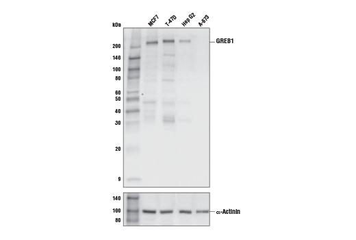 Monoclonal Antibody - GREB1 (E8M3F) Rabbit mAb - Immunoprecipitation, Western Blotting, UniProt ID Q4ZG55, Entrez ID 9687 #65171