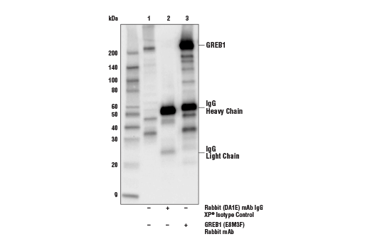 Immunoprecipitation Image 1: GREB1 (E8M3F) Rabbit mAb