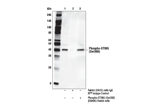 Image 19: Human-Reactive STING Pathway Antibody Sampler Kit