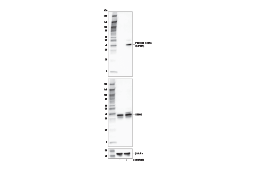 Image 24: Human-Reactive STING Pathway Antibody Sampler Kit