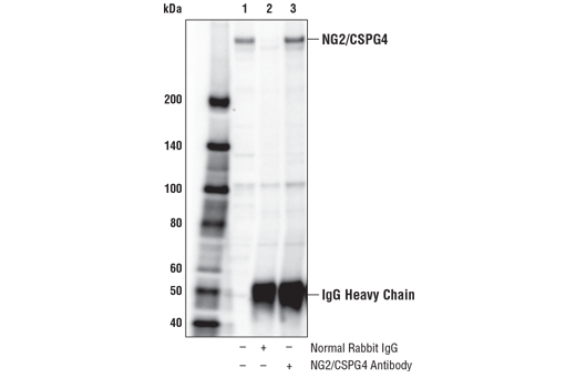 Immunoprecipitation of NG2/CSPG4 from HeLa cell extracts. Lane 1 is 10% input, lane 2 is Normal Rabbit IgG #2729, and lane 3 is NG2/CSPG4 Antibody. Western blot analysis was performed using NG2/CSPG4 Antibody.