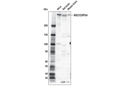 Western blot analysis of HeLa, rat brain, and mouse brain extracts using NG2/CSPG4 Antibody.