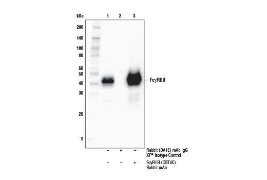 Immunoprecipitation of FcγRIIB from Raji cell extracts. Lane 1 is 10% input, lane 2 is Rabbit (DA1E) mAb IgG XP<sup>®</sup> Isotype Control #3900, and lane 3 is FcγRIIB (D8T4C)<sup> </sup>Rabbit mAb. Western blot analysis was performed using FcγRIIB (D8T4C) Rabbit mAb. Mouse Anti-Rabbit IgG (Conformation Specific) (L27A9) mAb (HRP Conjugate) #5127 was used as the secondary antibody.