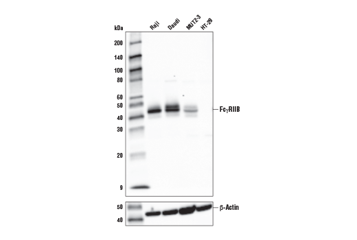 Western blot analysis of extracts from various cell lines using FcγRIIB (D8T4C)<sup> </sup>Rabbit mAb (upper) or β-Actin (D6A8) Rabbit mAb #8457 (lower).