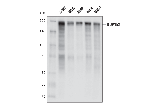 Western blot analysis of extracts from various cell lines using NUP153 (E3I6Z) Rabbit mAb.