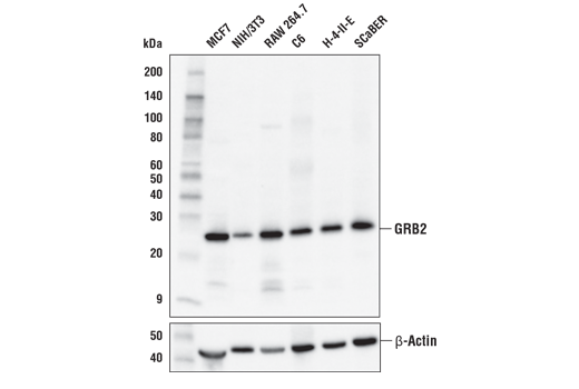 Western blot analysis of extracts from various cell lines using GRB2 (D2M8M) Rabbit mAb (upper) and β-Actin (D6A8)<sup> </sup>Rabbit mAb #8457 (lower).