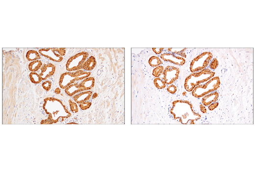 Monoclonal Antibody Immunohistochemistry Paraffin Female Gonad Development