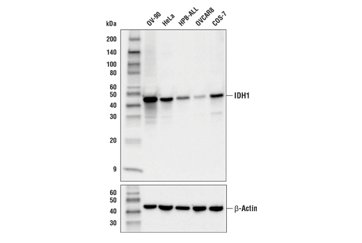 Western blot analysis of extracts from various cell lines using IDH1 (RcMab-1) Rat mAb (upper) and β-Actin (D6A8) Rabbit mAb #8457 (lower). Expression levels of IDH1 among cell lines are consistent with expectations based on publicly available bioinformatic databases.