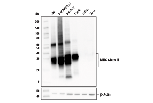 Western blot analysis of extracts from various cell lines using MHC Class II (LGII-612.14) Mouse mAb (upper) or β-Actin (D6A8) Rabbit mAb #8457 (lower).