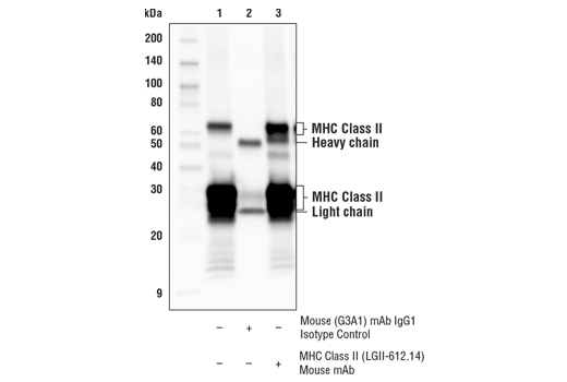 Immunoprecipitation of MHC Class II from Raji cell extracts. Lane 1 is 10% input, lane 2 is Mouse (G3A1) mAb IgG1 Isotype Control #5415, and lane 3 is MHC Class II (LGII-612.14) Mouse mAb. Western blot analysis was performed using MHC Class II (LGII-612.14) Mouse mAb. Anti-mouse IgG, HRP-linked Antibody #7076 was used as the secondary antibody.