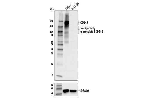 Polyclonal Antibody - CD248 Antibody - Western Blotting, UniProt ID Q9HCU0, Entrez ID 57124 #20858 - Primary Antibodies