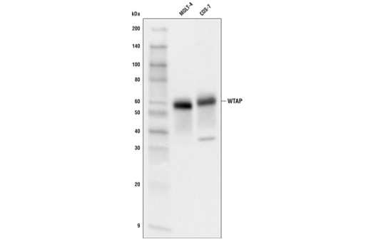 Western blot analysis of extracts from MOLT-4 and COS-7 cells using WTAP (E7O5B) Rabbit mAb.