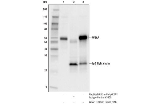 Immunoprecipitation of WTAP from MOLT-4 cell extracts. Lane 1 is 10% input, lane 2 is Rabbit (DA1E) mAb IgG XP<sup>®</sup> Isotype Control #3900, and lane 3 is WTAP (E7O5B) Rabbit mAb. Western blot analysis was performed using WTAP (E7O5B) Rabbit mAb.