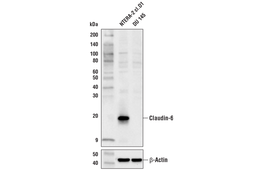 Polyclonal Antibody Identical Protein Binding - count 20
