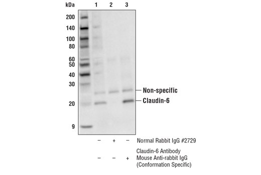 Immunoprecipitation Image 1: Claudin-6 Antibody