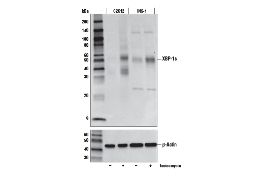 Western blot analysis of extracts from C2C12 cells untreated (-) or treated with Tunicamycin #12819 (2 μg/ml, 8 hr; +) and INS-1 cells untreated (-) or treated with Tunicamycin #12819 (5 μg/ml, 24 hr; +), using XBP-1s (E9V3E) Rabbit mAb (upper) and β-Actin (D6A8) Rabbit mAb #8457 (lower).